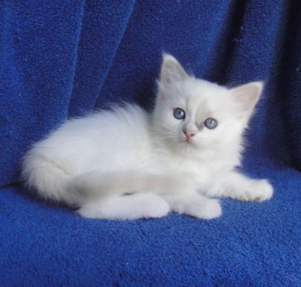 Ragdoll Cats and Kittens | Breeding the highest quality