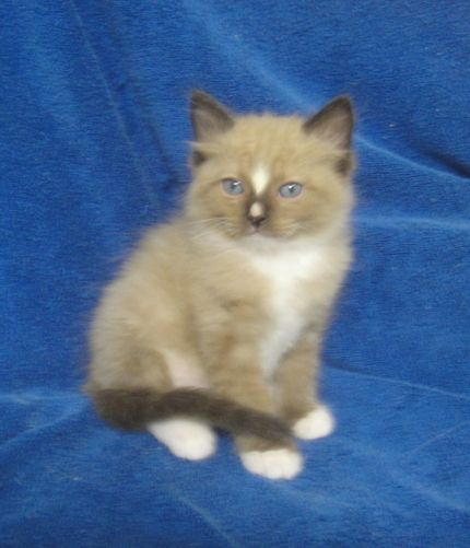 Ragdoll Cats and Kittens | Breeding the highest quality ragdolls