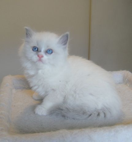 Ragmeister Ragdolls -- kittens for sale San Diego |